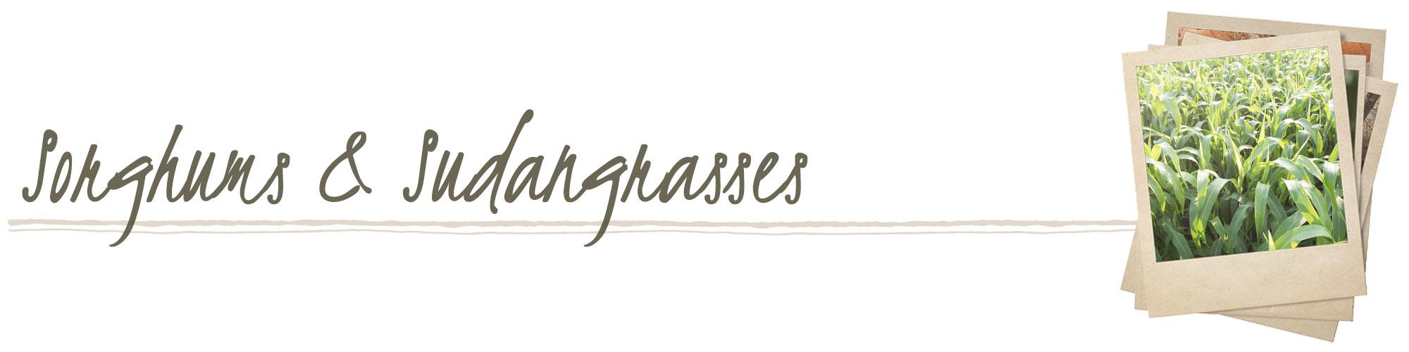 Sorghums & Sudangrasses