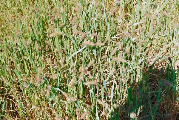 German Strain 'R' Foxtail Millet