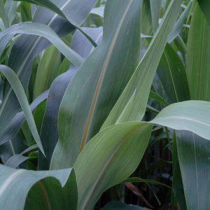 Gotcha Plus BMR Hybrid Sorghum Sudangrass – 50 lb bag