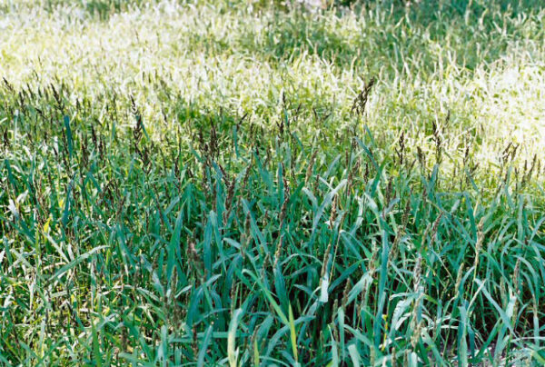 Japanese Millet
