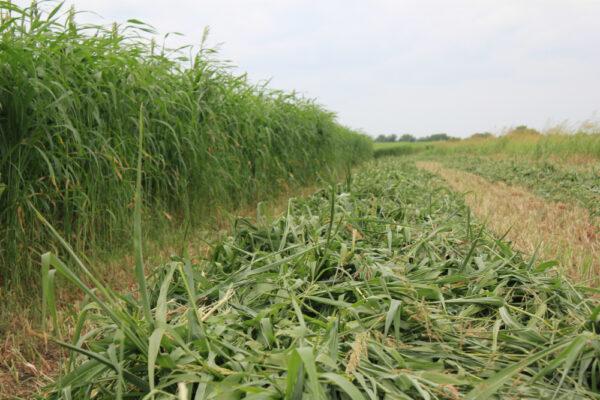 Fastgrass 5 Hybrid Sorghum Sudangrass