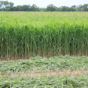 Fastgrass 5 Hybrid Sorghum Sudangrass – 50 lb bag