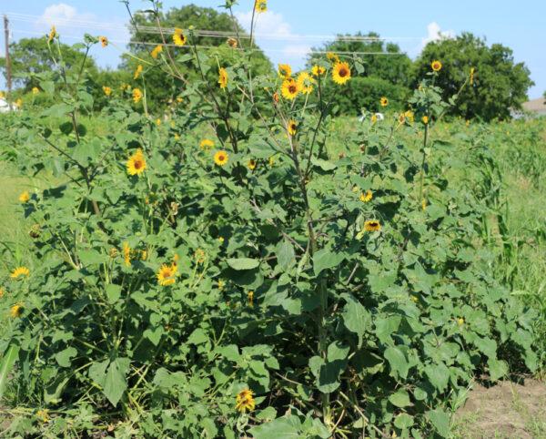 Native Sunflower - per lb-327
