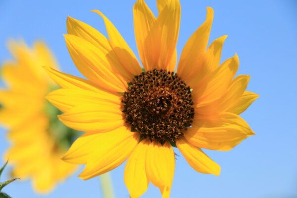 Native Sunflower - per lb-325
