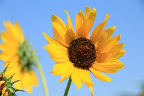 Native Sunflower - per lb-328