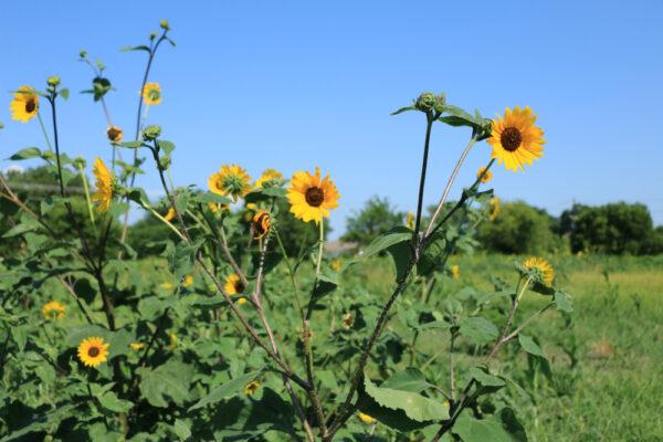 Native Sunflower - per lb-326