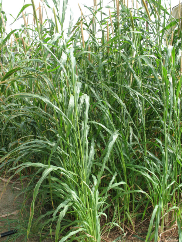 Hybrid Pearl Millet