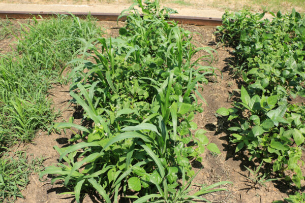 Cover-All Spring Cover Crop Blend a few weeks after planting