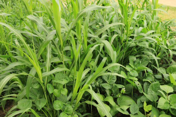 Cover-All Spring Cover Crop Blend in summer