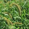 Golden German Foxtail Millet