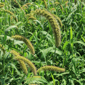 Golden German Foxtail Millet – 50 lb bag