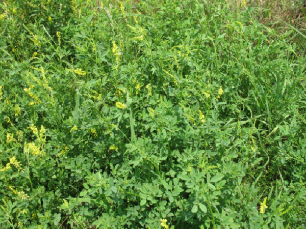 Yellow-blossomed Sweetclover