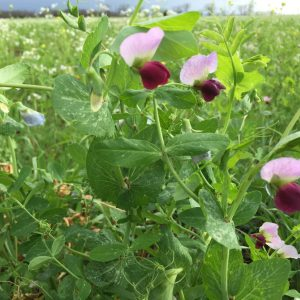 Austrian Winter Field Pea 50 lb bag