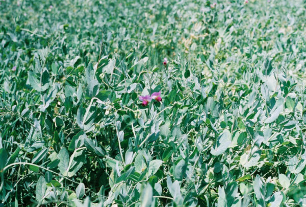 Austrian Winter Field Pea