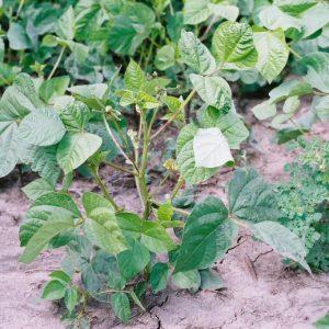 Mungbeans – 50 lb bag
