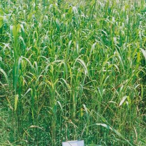 Piper Sudangrass – 50 lb bag