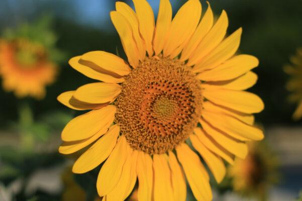 Peredovik Sunflowers - 50 lb bag-303