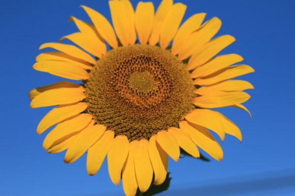 Peredovik Sunflowers - 50 lb bag-301