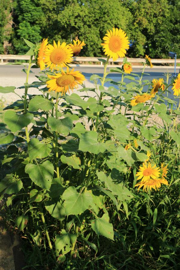 Peredovik Sunflowers - 50 lb bag-304
