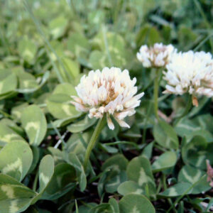 Common White Clover – 50 lb bag
