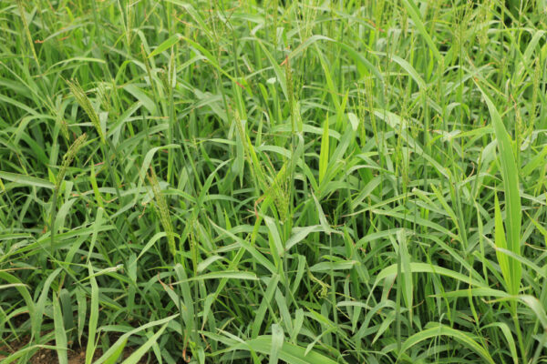 Red River Crabgrass