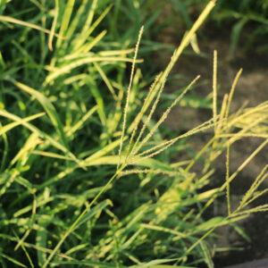 Red River Crabgrass 25 lb bag