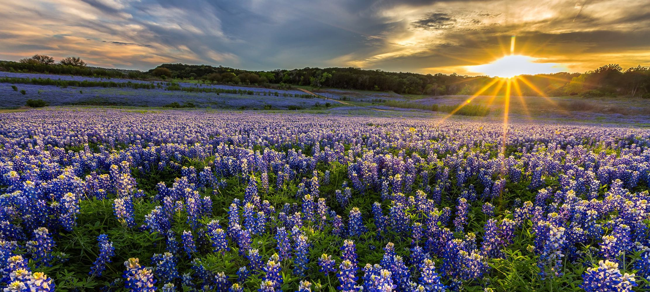 Field of Blue Bonnets at Sunset