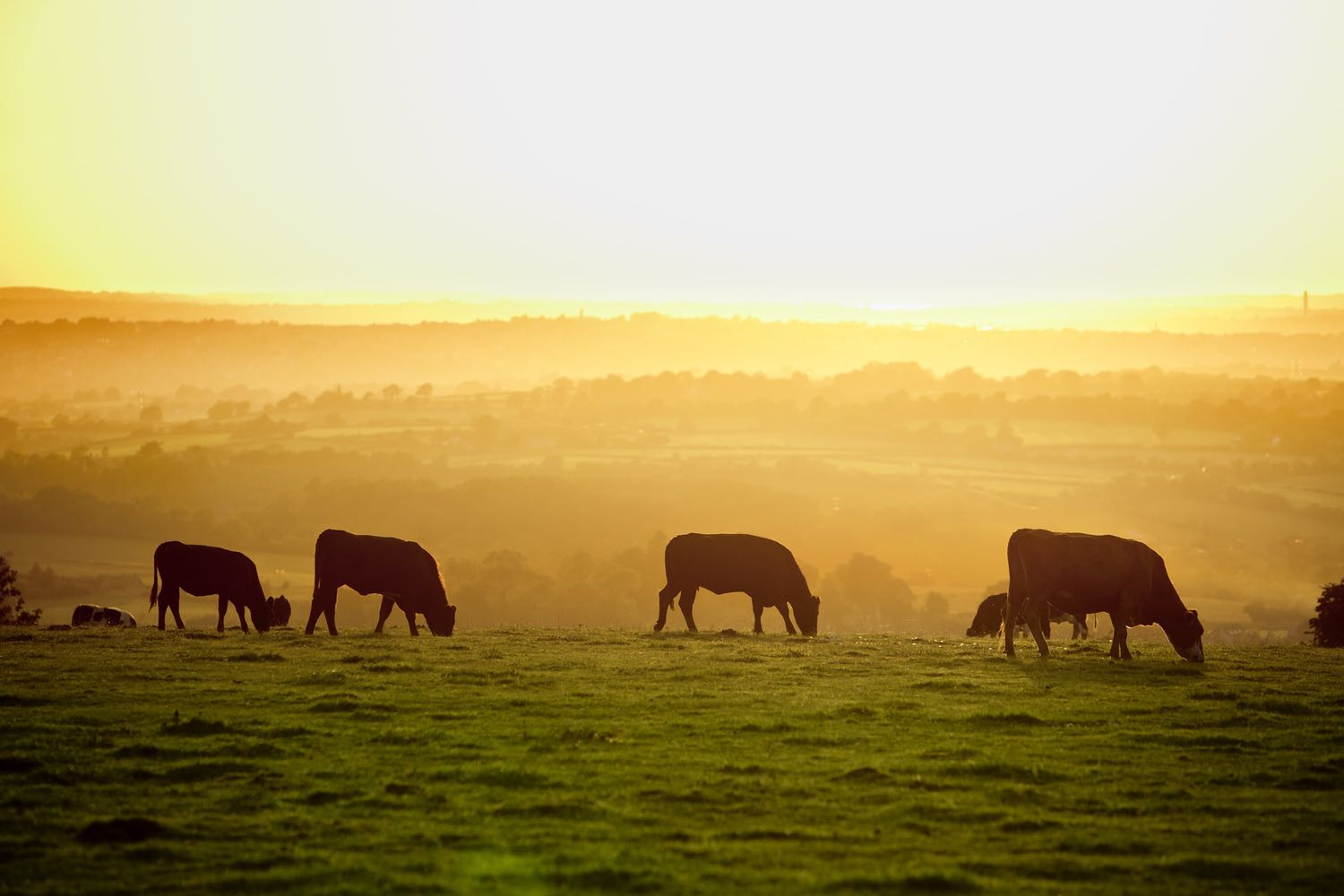 Cows in a Field at Sunset
